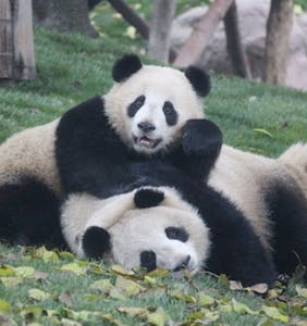 Have sex in a panda costume and this company will donate $100 to wildlife conservation