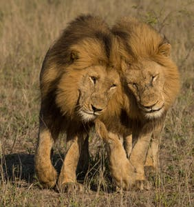 This is what happens when you interrupt two male lions having sex